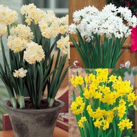 35 Indoor Narcissi Collection
