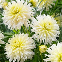 3 Dahlia Ice Crystal