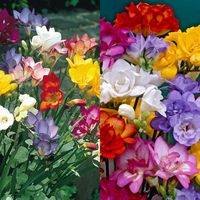 100 Single/Double Freesias Mix Collection