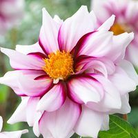 3 Dahlia Edge of Joy