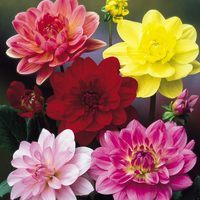 6 Water Lily Dahlia Collection