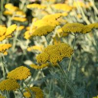 6 Achillea Cloth of Gold