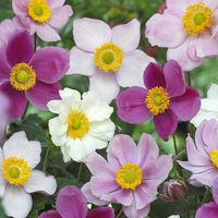 3 Anemone Japonica Mixed