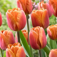 15 Tulip Brown Sugar