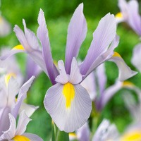 25 Dutch Iris King Mauve
