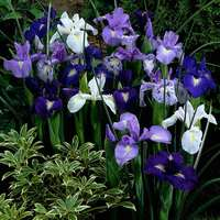 5 English Iris Mixed