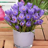 25 Crocus Grand Maitre
