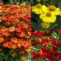 6 Helenium Collection