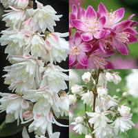 3 Deutzia Collection