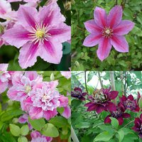 2 Double Season Clematis Collection