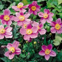 Anemone Japonica September Charm