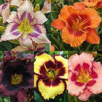 5 Giant Flowered Hemerocallis