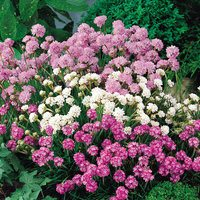 6 Armeria Mixed