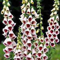 3 Digitalis Pam's Choice