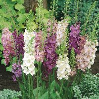 6 Verbascum phoenicum Collection