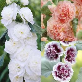 3 Double Alcea Collection
