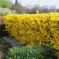 15 Forsythia Spectabilis Hedge