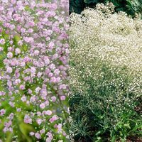 12 Tall Gypsophila paniculata Collection