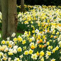 25 Daffodil and Narcissi Mixed 12/14cm