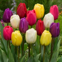 15 Triumph Tulips Mixed