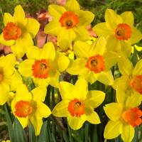 15 Daffodil Red Devon