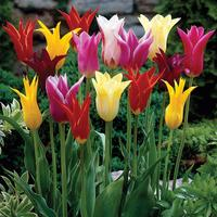 15 Lily Flowering Tulips Mixed 11/12cm