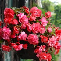 3 Begonia Pink Delight