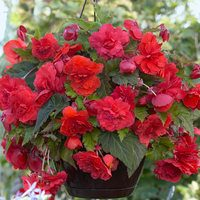 3 Begonia Red Glory