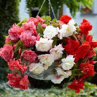 9 Fragrant Begonia Collection