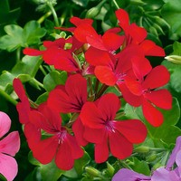 6 Geranium Trailing Red