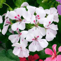 6 Geranium Trailing White