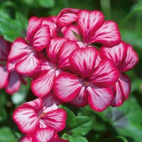 Geranium Single Trailing Red Star