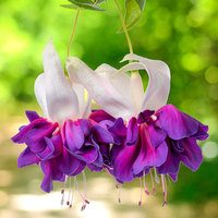 6 Giant Fuchsia Deep Purple