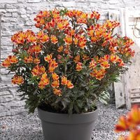 3 Alstroemeria Indian Summer