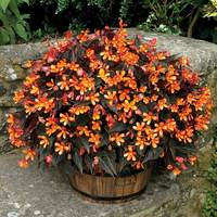 6 Begonia Glowing Embers