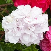 Geranium Double Trailing White Pearl