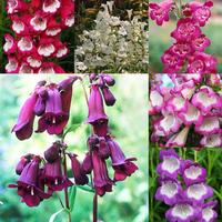 6 Penstemon Pensham Collection
