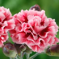 6 Dianthus Scent First Sugar Plum