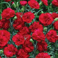 6 Dianthus Scent First Passion