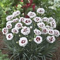 6 Dianthus Scent First Coconut Sundae