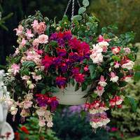6 Fuchsia Trailing Mixed