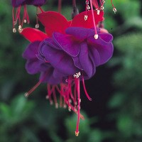 6 Fuchsia Dollar Princess