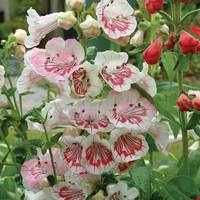 6 Penstemon Strawberries and Cream