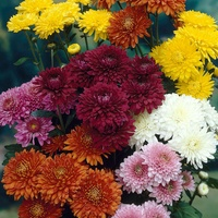 6 Mid Season Spray Chrysanthemums