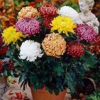 6 Bloom Chrysanthemums Collection