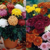 24 Chrysanthemum Complete Collection