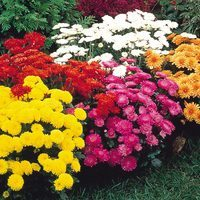 6 Chrysanthemum Hardy Garden Mums Collection