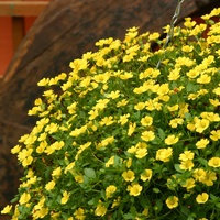 6 Bacopa Yellow Mecardonia