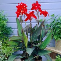 3 Canna Black Knight