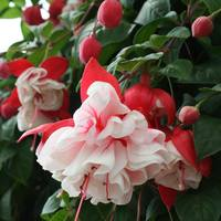 6 Fuchsia Swing Time